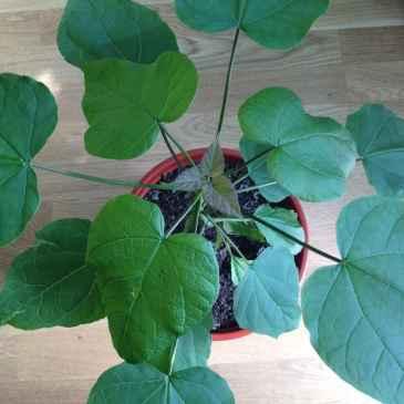 catalpa ovanifrån. Bladen är vackert gröna och de nyutsprungna små bladen är lila.